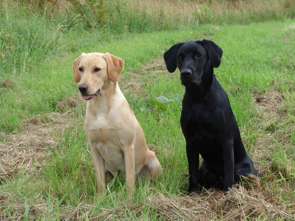 To the left it is 4RM2014 Ravensbank Fay (Fay), and to the right it is her sibling, Ravensbank Jock (Jock). The dogs are 8-9 months old. ©Ravensbank Labrador Retrievers