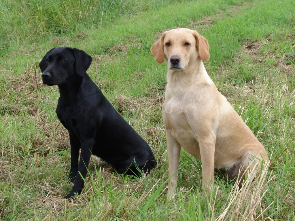 To the left it is Ravensbank Queen Guinevere (Genie), and to the right it is her mum, Ravensbank Wagtail (Waggie). ©Ravensbank Labrador Retrievers