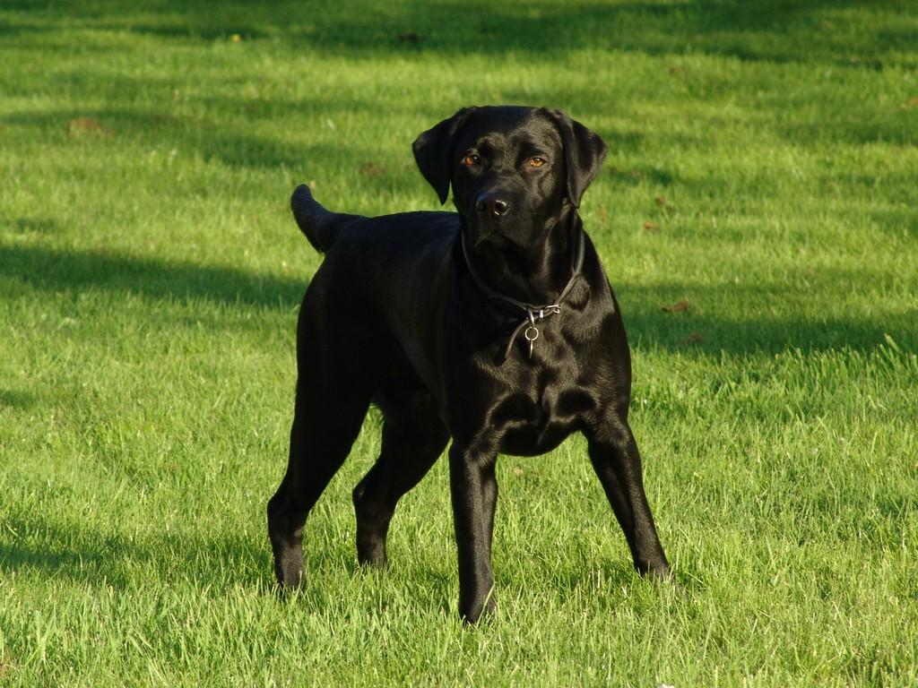 This picture shows exactly the kind of charm and charisma that we like in our dogs. As a stud fee we had Lucky Labrador's Chaka Khan from a litter by our own Primo and Fighter from Kennel Lucky Labrador's. Chaka has a new home today. She is owned by one of our best friends and is used as a gundog. ©Ravensbank Labrador Retrievers