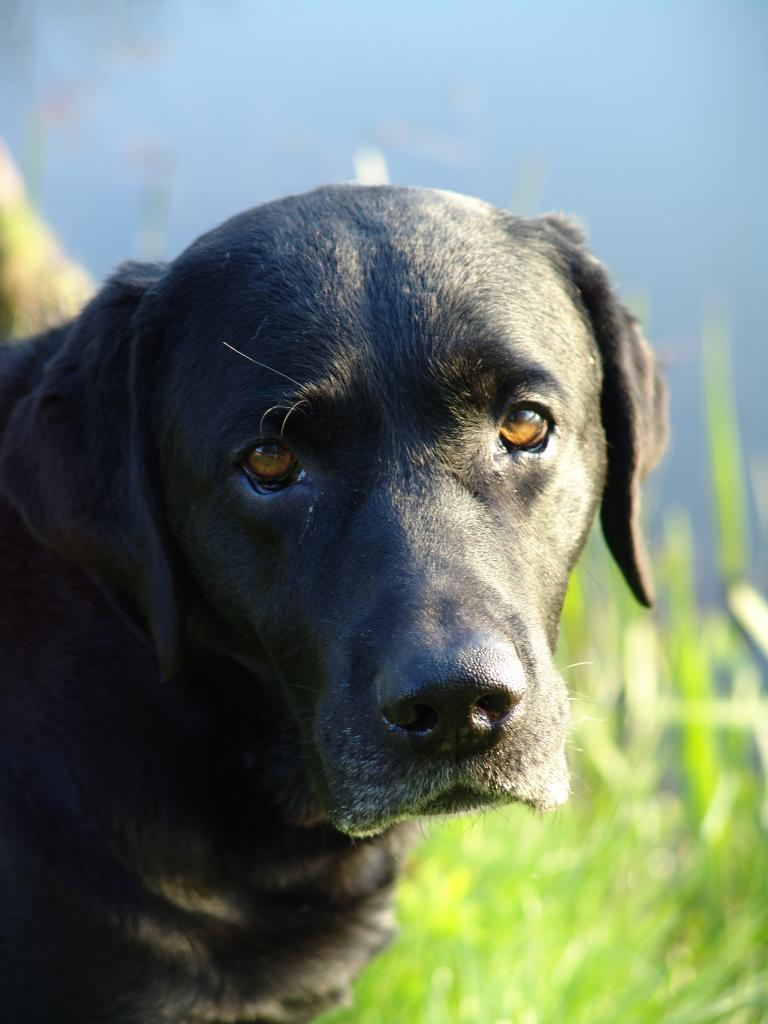 Lochiness Jameson (Primo), 10 år  gammel©Ravensbank Labrador Retrievers
