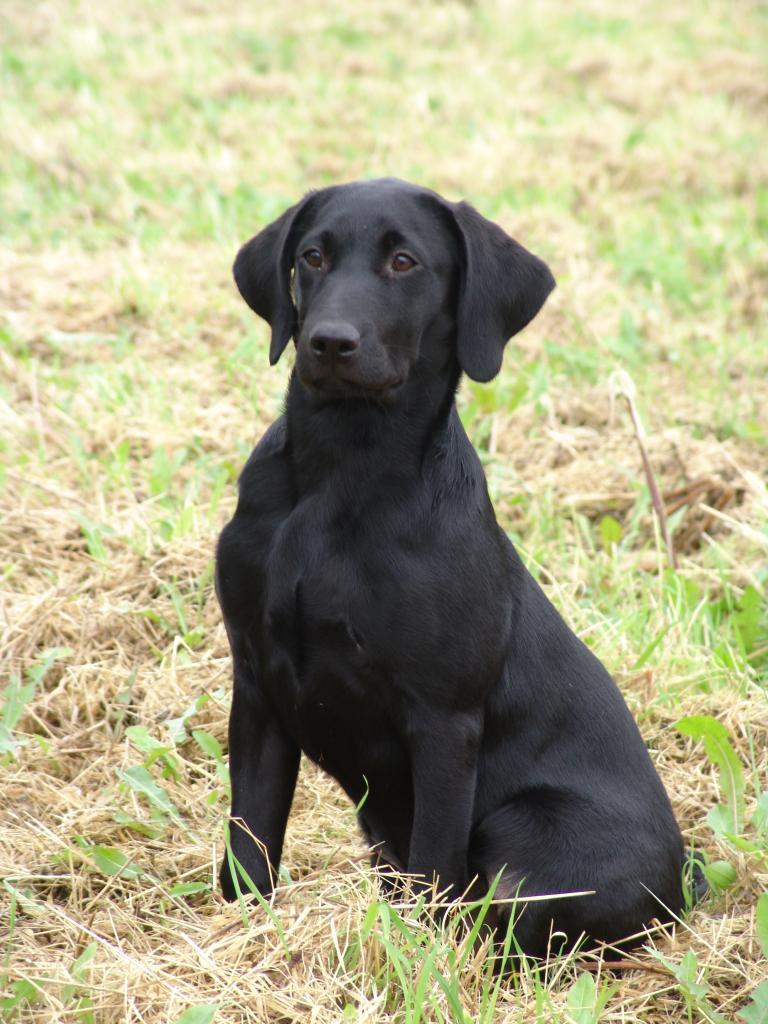 Herligt billede af  () fire måneder gammel©Ravensbank Labrador Retrievers