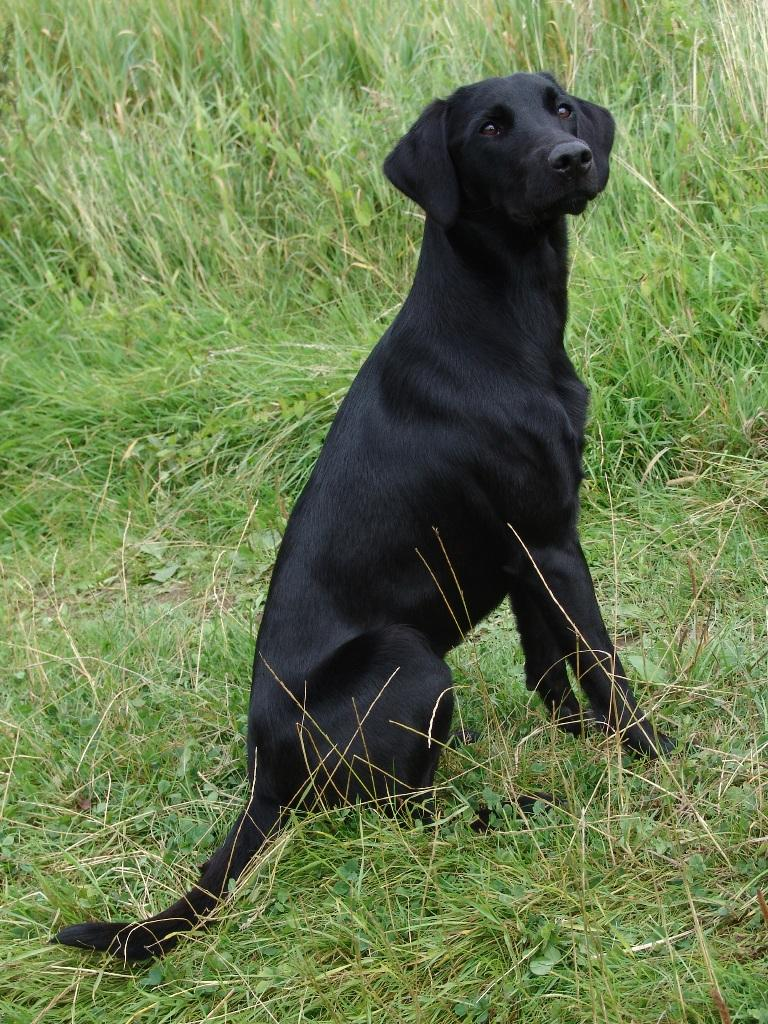 Ravensbank Lili (Fina) on her one year birthday. ©Ravensbank Labrador Retrievers