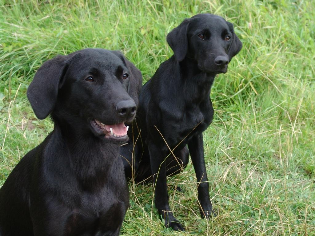 In front Ravensbank Donna (Bibs) and behind her is Ravensbank Lili (Fina) on their one year birthday. ©Ravensbank Labrador Retrievers