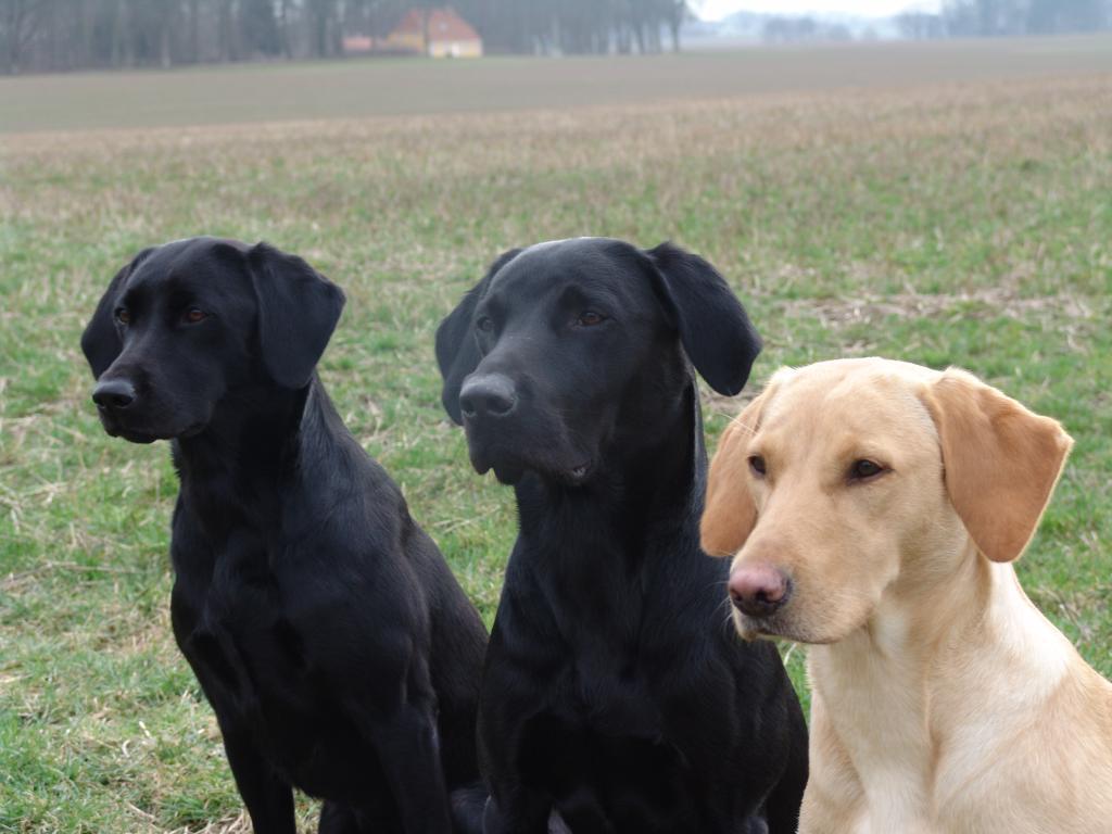Tre dejlige hunde med hver sin første præmie på  B-prøven, Ravnholt Gods i april 2011. Yderst til højre er det 4RM2014 Ravensbank Fay (Fay) som fik 1. pr. i begynderklasse og blev dagens bedste hund. Yderst til venstre er det Ravensbank Queen Guinevere (Genie) som fik 1. pr. i åben klasse, og i midten er det Ravensbank Jock (Jock) som fik 1. pr. i begynderklasse.©Ravensbank Labrador Retrievers