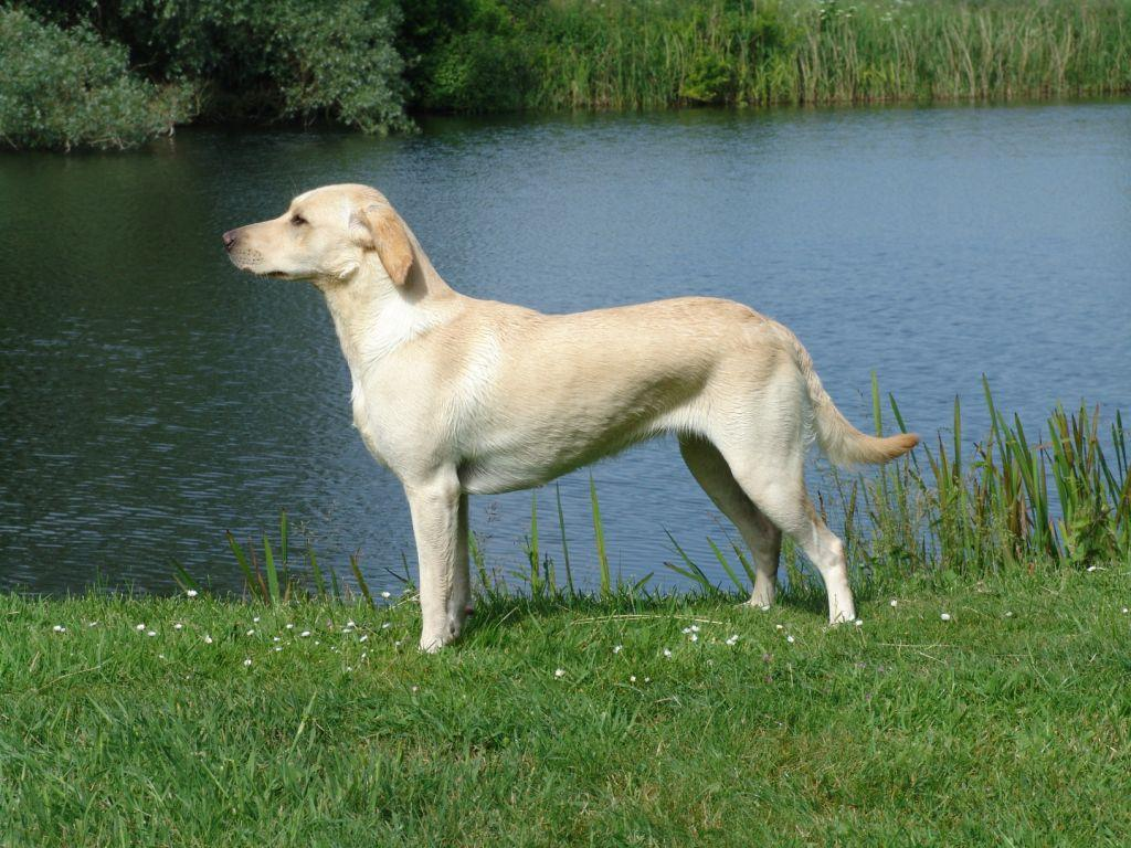 Tidemark Ivy (Ivy) has all the characteristics of a Labrador Retriever, and her strength lies in the work after the shot has been fired. ©Ravensbank Labrador Retrievers