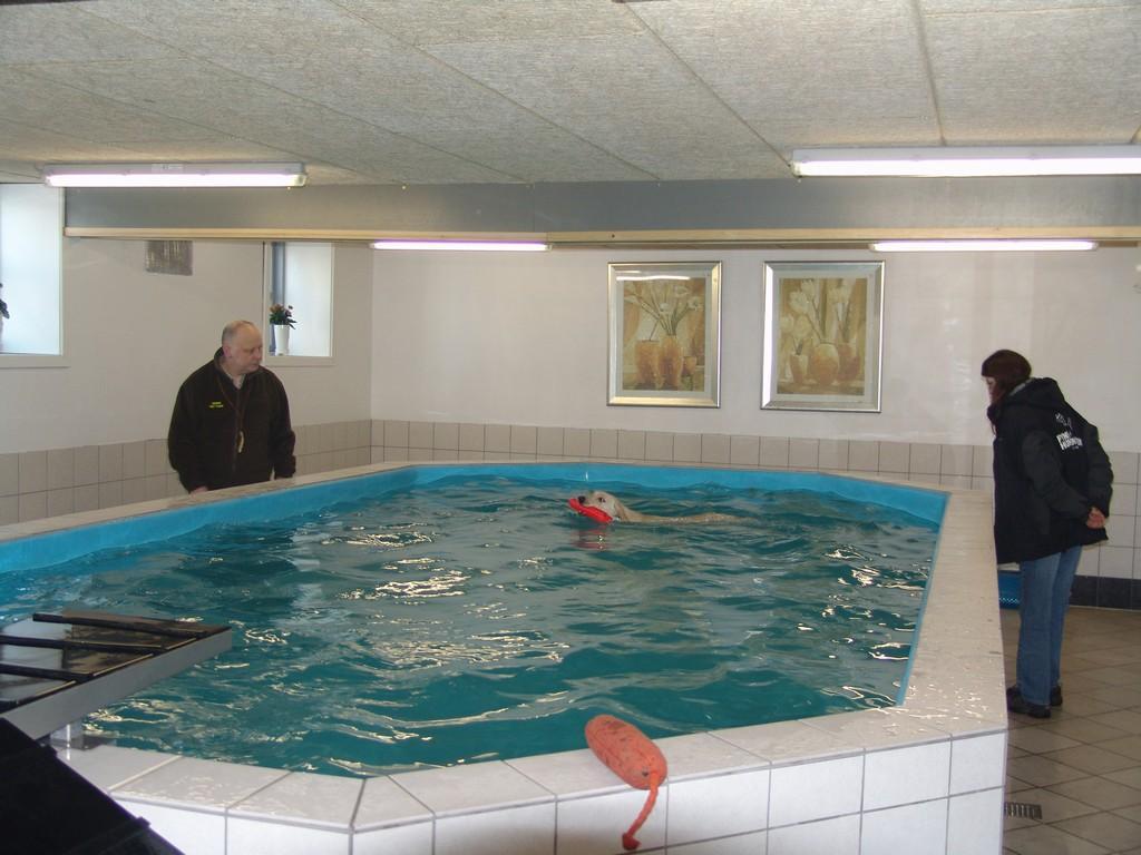 Jeg har tit brugt svømmehallen i Fyns Hundecenter. Det er rigtig god motion, og er en fin måde at træne lydighed på vand. På billedet ser du centerets eksaminerede hundemassør Hanne Thiel Madsen som studerer Tidemark Jill (Jill)'s bevægelser i vandet.©Ravensbank Labrador Retrievers