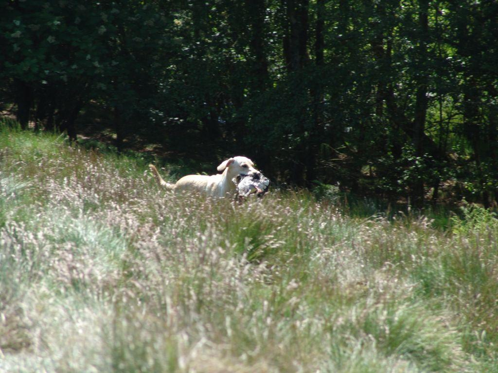 Tidemark Ivy (Ivy) has a lovely temper as a gundog, and above all, she is a reliable retriever. The picture is taken during the Danish Team Championship 2006.©Ravensbank Labrador Retrievers