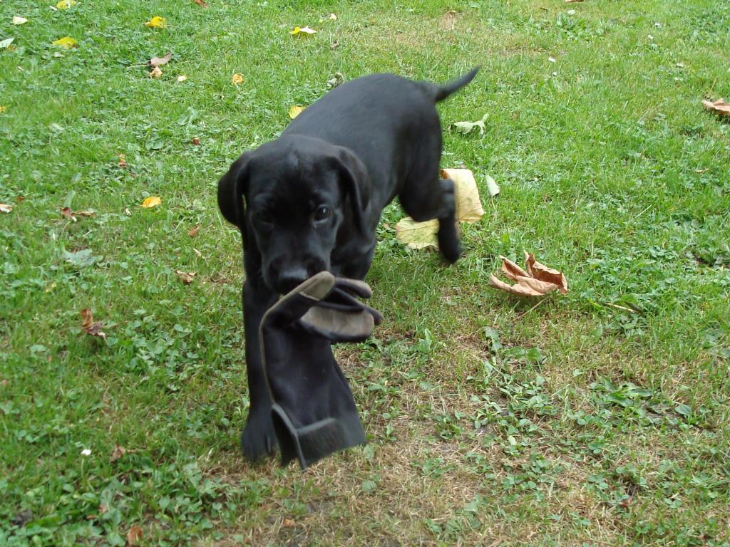 Som fødte apportører, har hvalpene allerede mens de er små lyst til at bære rundt på ting. Her er det Ravensbank Martha My Dear (Martha) på ni uger, der har fundet en arbejdshandske der kan agere fugl.©Ann Schmidt