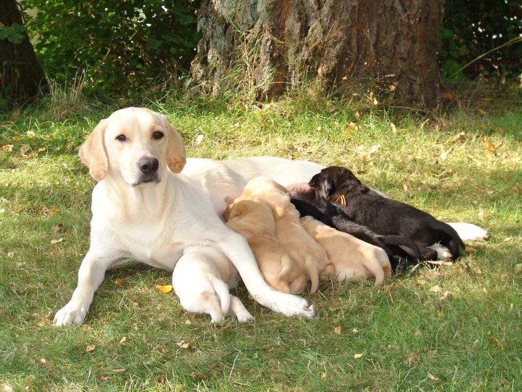 A lovely picture of Ivy with her first litter. The puppies are three weeks old, and the picture is taken in September 2006. I took the puppies to a shady and peaceful spot on the lawn, and Ivy settled herself comfortably with the three weeks old puppies around her.©Ravensbank Labrador Retrievers