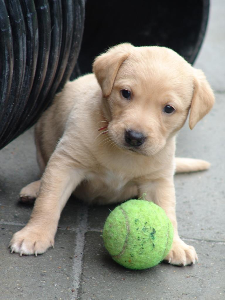 I found this picture of 2UM2008 Ravensbank Skylark (Skylark), taken in the puppy kennel when she was five weeks old.  ©Ravensbank Labrador Retrievers