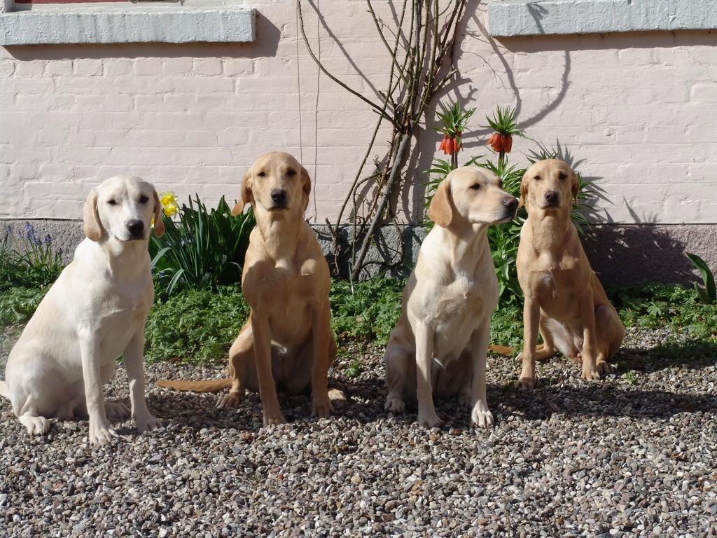 Gruppebillede af mor og tre af hendes hvalpe fra første kuld (2006). Tidemark Ivy (Ivy) er nr. to fra højre med 2UM2008 Ravensbank Skylark (Skylark) til højre, og Ravensbank Wagtail (Waggie) til venstre. Helt til venstre er Ravensbank Robin (Robin).©Ravensbank Labrador Retrievers