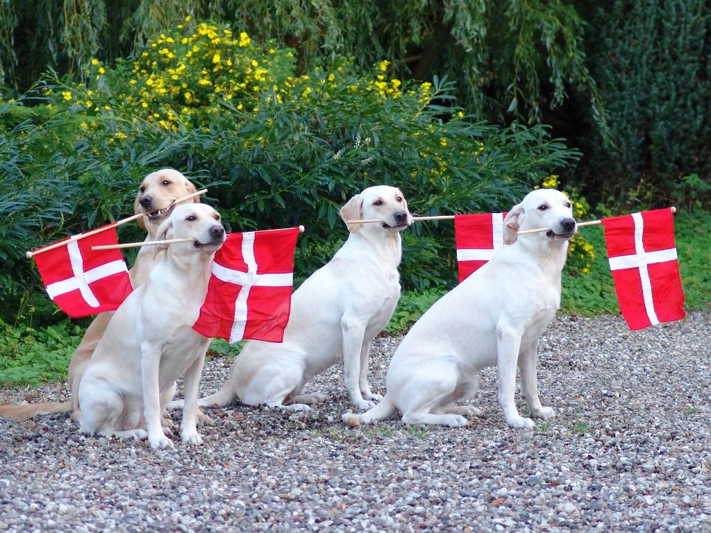 "Day of celebration at Kennel Ravensbank: From the left, you see the Dam of the litter, Tidemark Ivy (Ivy), behind her it is Ravensbank Wagtail (Waggie), in the middle it is ""aunt"" Tidemark Jill (Jill) and rightmost is Ravensbank Robin (Robin). ©Ravensbank Labrador Retrievers"