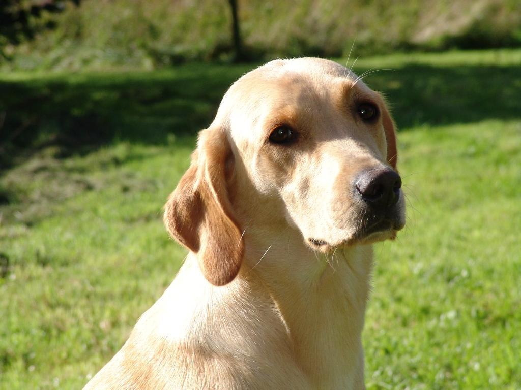 This picture of Ravensbank Wagtail (Waggie) is taken shortly after her first birthday.©Ravensbank Labrador Retrievers