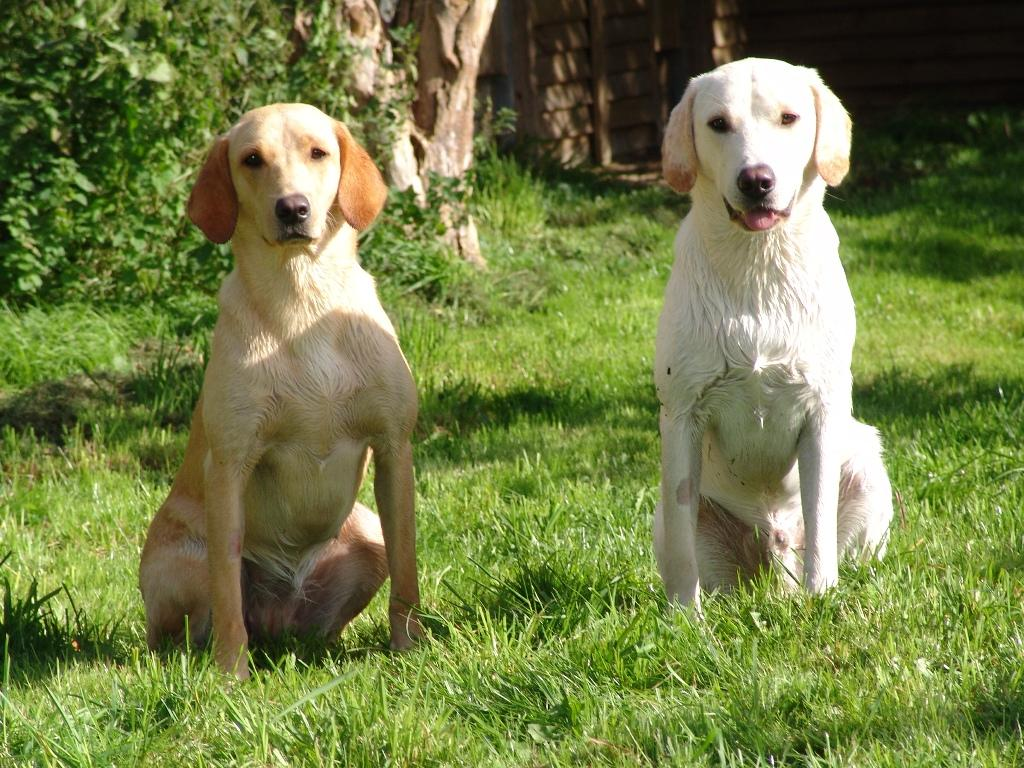 A picture from our private training grounds of two wet puppies, Ravensbank Wagtail (Waggie) (left) and Ravensbank Robin (Robin) (right). ©Ravensbank Labrador Retrievers