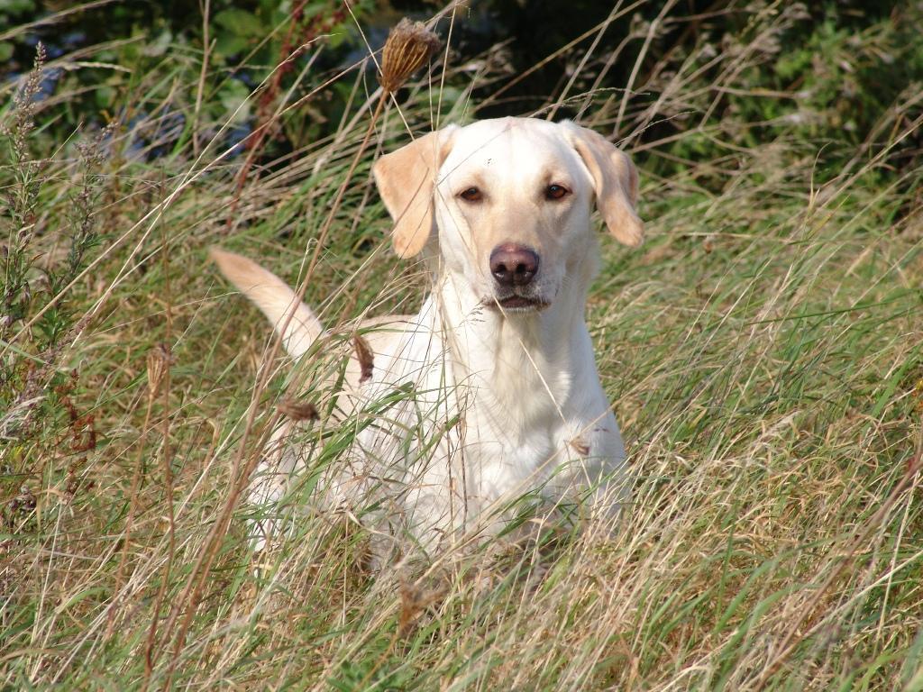 Tidemark Jill (Jill) har en stærk psyke og masser af fart og stil.©Ravensbank Labrador Retrievers