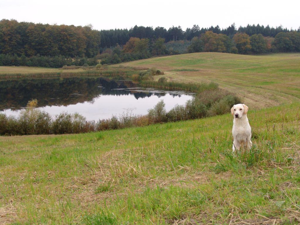 Heldagergaard er et eksempel på de fantastiske jagtområder der findes på Fyn. Hunden på billedet er Ravensbank Robin (Robin) og billedet er taget i oktober 2007. Robin er hvalp fra Ivy's første kuld.©Ravensbank Labrador Retrievers