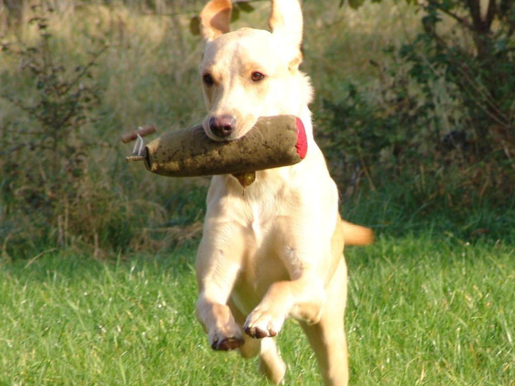 Her er Ravensbank Wagtail (Waggie) fanget midt i en apportering. Hun er en hund med masser af fart og stil, og samtidig er hun rolig og nem at træne.©Ravensbank Labrador Retrievers