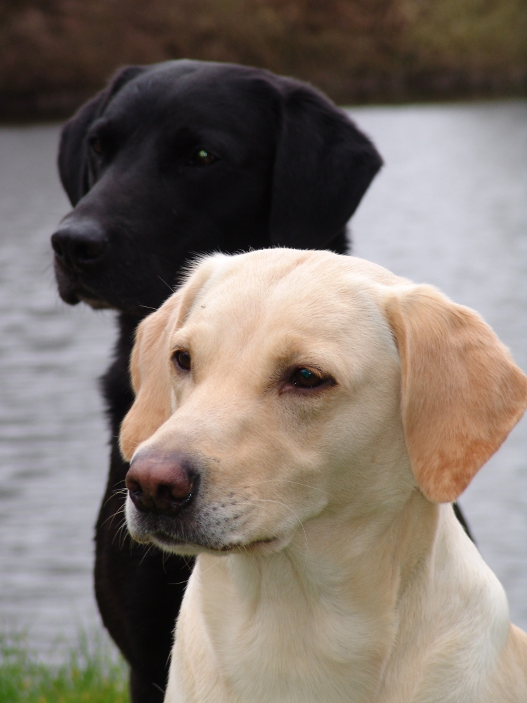 In the foreground Tidemark Ivy (Ivy) and behind her the sire of her two first litters, DKBRCH DKJCH Cynhinfa Emperor (Leo). ©Ravensbank Labrador Retrievers