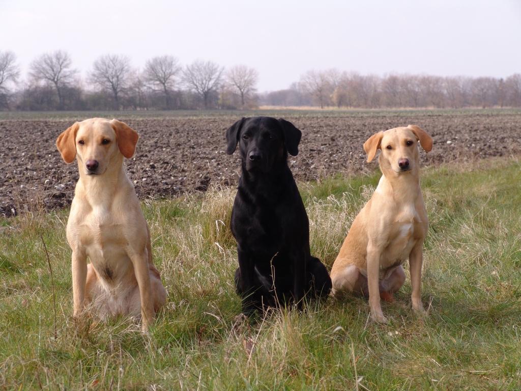 Tre hvalpe fra Tidemark Ivy (Ivy) og DKBRCH DKJCH Cynhinfa Emperor (Leo)'s første kuld. Fra venstre er det Ravensbank Wagtail (Waggie), i midten er det DKBRCH DKJCH NOJCH SEJCH NORDJCH 2EV2010 3UM2008 Ravensbank Swift (Swiffer) og til højre er det 2UM2008 Ravensbank Skylark (Skylark). Billedet er taget d. 12. april 2008, hvor alle tre hunde har fået første præmie på markprøve B. Waggie og Skylark i begynderklasse og Swiffer i åben klasse.©Ravensbank Labrador Retrievers
