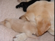 "Boss with the red cotton yarn has snuggled up to Ivy, and she looks as though she enjoys the close contact with her puppy. <span id=""copyright"">©Ravensbank Labrador Retrievers</span>"