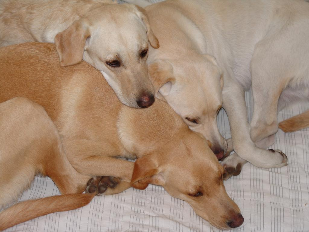 The other dogs may feel neglected when Ivy and the puppies get all the attention. But they stick together. To the left (top) Tidemark Jill (Jill), in the middle Ravensbank Wagtail (Waggie) (slightly darker), and to the right Ravensbank Robin (Robin).©Ravensbank Labrador Retrievers