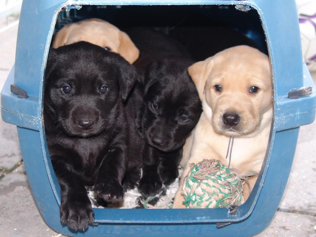 The puppies from the 2008 litter. They loved to pile up inside the box, and here all five of them have managed to group themselves nicely. Front left is Flo, in the middle there is Whizzie and to the right you see Tip. The yellow dog behind Flo belongs to Boss and Max is hiding all behind the rest. ©Ravensbank Labrador Retrievers
