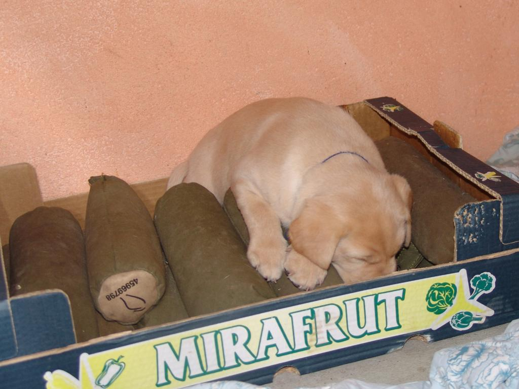 The cosiest place for a sporting dog must surely be a pile of dummies. After chewing the box a bit, Tip has fallen asleep, probably dreaming of double marks. ©Ravensbank Labrador Retrievers