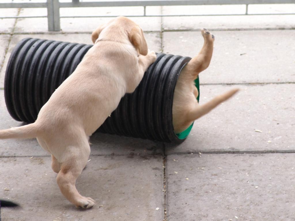 """En større og større del af dagen går nu med at hvalpene leger med hinanden og sig selv. Her har Boss fundet ind i eet af de rør som ligger i hundegården, men Tip har sat sig for at give """"en tur i karrusellen"""".©Ravensbank Labrador Retrievers"""