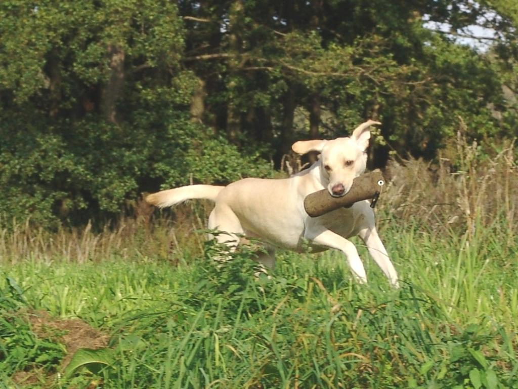 Tidemark Ivy (Ivy) has lots of energy when she works. The picture is taken in September 2008.©Ravensbank Labrador Retrievers