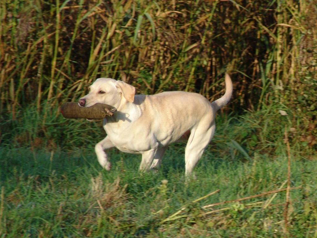 Tidemark Ivy (Ivy) during a training session in late September 2008.  ©Ravensbank Labrador Retrievers