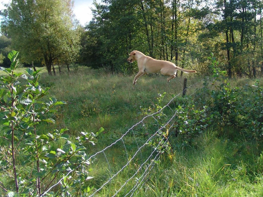 En Labrador er i modsætning til, hvad mange mennesker tror, en super adræt hund, der har smukke bevægelser i terrænet. Her er det Ravensbank Wagtail (Waggie) der endda med god frihøjde forcerer et trådhegn.©Ravensbank Labrador Retrievers