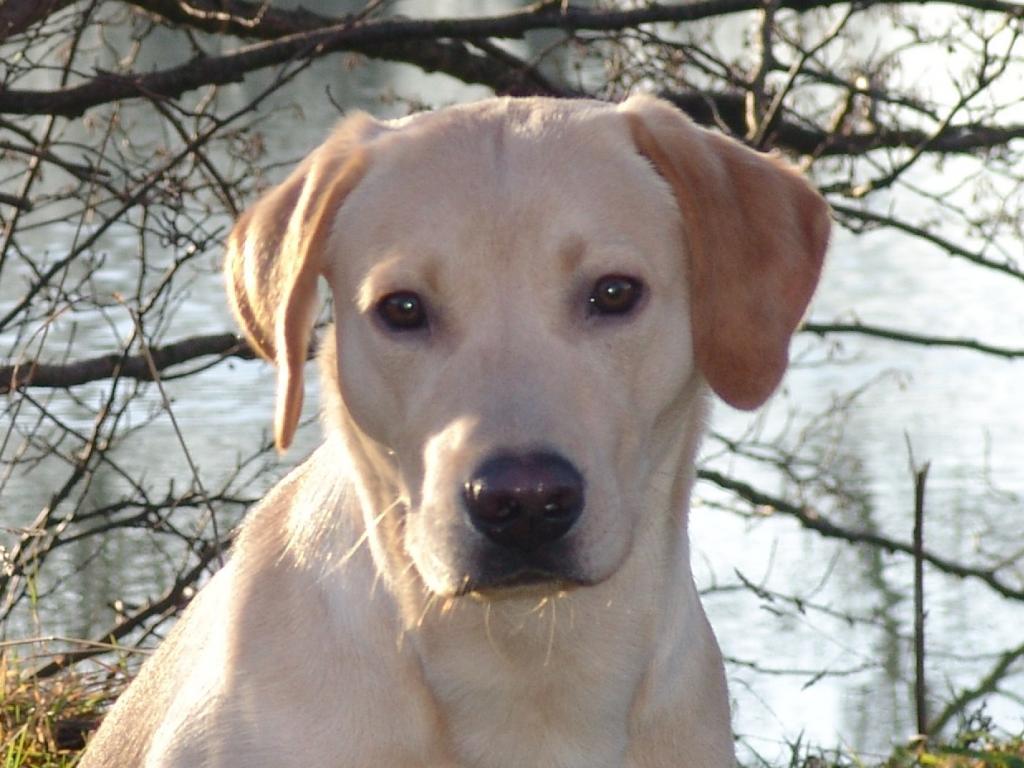 Dette er Ravensbank Boss (Boss) i en nøddeskal. Kort og godt en rigtig rar hund som er i super kontakt og som gerne vil arbejde.©Ravensbank Labrador Retrievers