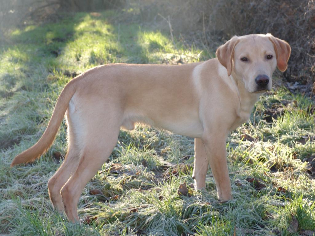 Ravensbank Boss (Boss) at the age of eight months. The picture is taken on a lovely day in January 2009. ©Ravensbank Labrador Retrievers