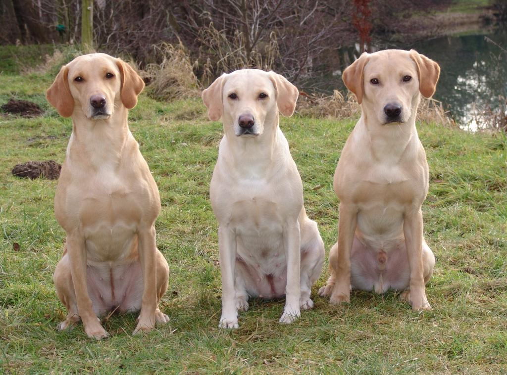 My dogs, January 2009. In the middle Tidemark Ivy (Ivy), the mother of the other two. To the left Ravensbank Wagtail (Waggie) from Tidemark Ivy (Ivy)'s first litter, and to the right Ravensbank Boss (Boss) from Tidemark Ivy (Ivy)'s second litter. ©Ravensbank Labrador Retrievers