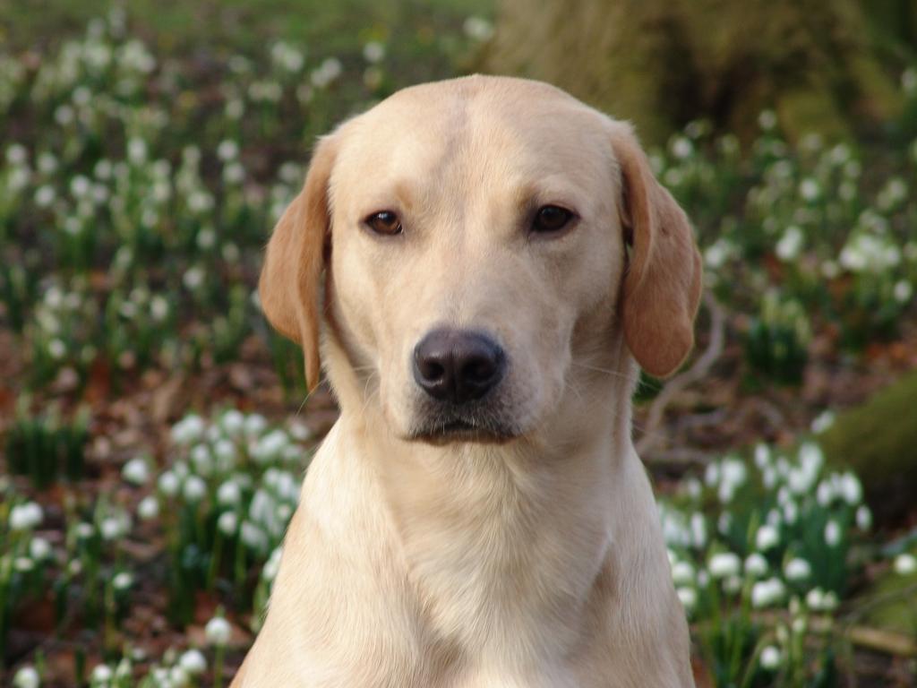 Ravensbank Boss (Boss) er en dejlig rolig hund og så har han samtidig et skønt glimt i øjet. Her er han fotograferet i begyndelsen af marts 2009.©Ravensbank Labrador Retrievers