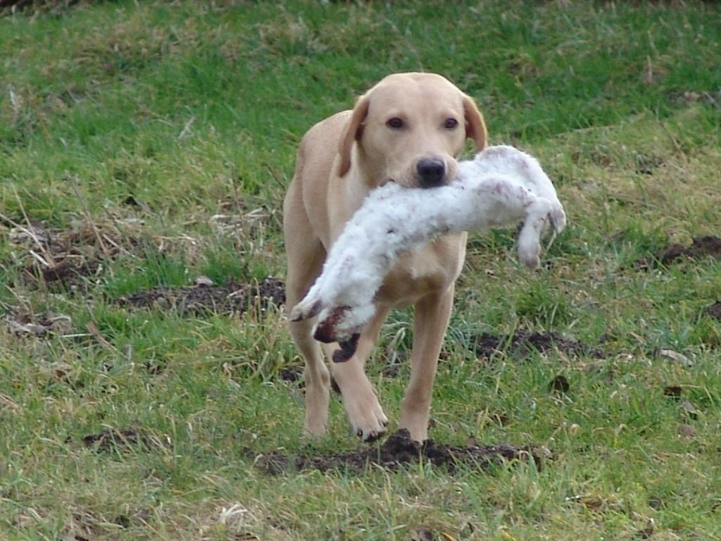 This is Ravensbank Boss (Boss) retrieving his first rabbit. In the picture, he is almost ten months old. ©Ravensbank Labrador Retrievers