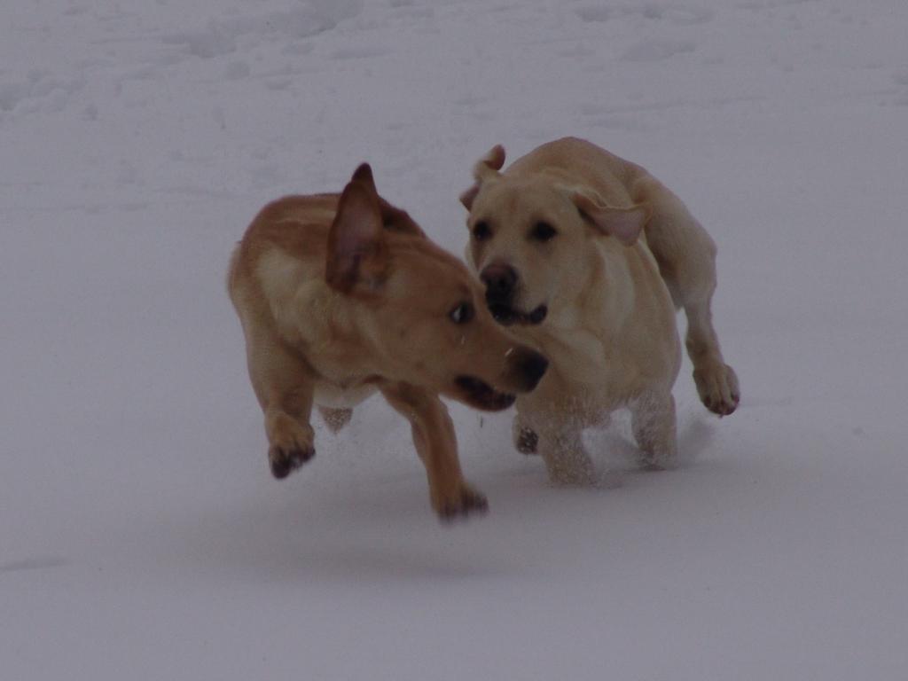 De to kuldbrødre Ravensbank Boss (Boss) (til venstre) og FI KVA, SE KVA Ravensbank Tip (Tipi) leger i sneen. Der er ca. fire kg. forskel mellem de to hunde her hvor de er 10 måneder gamle.©Ravensbank Labrador Retrievers