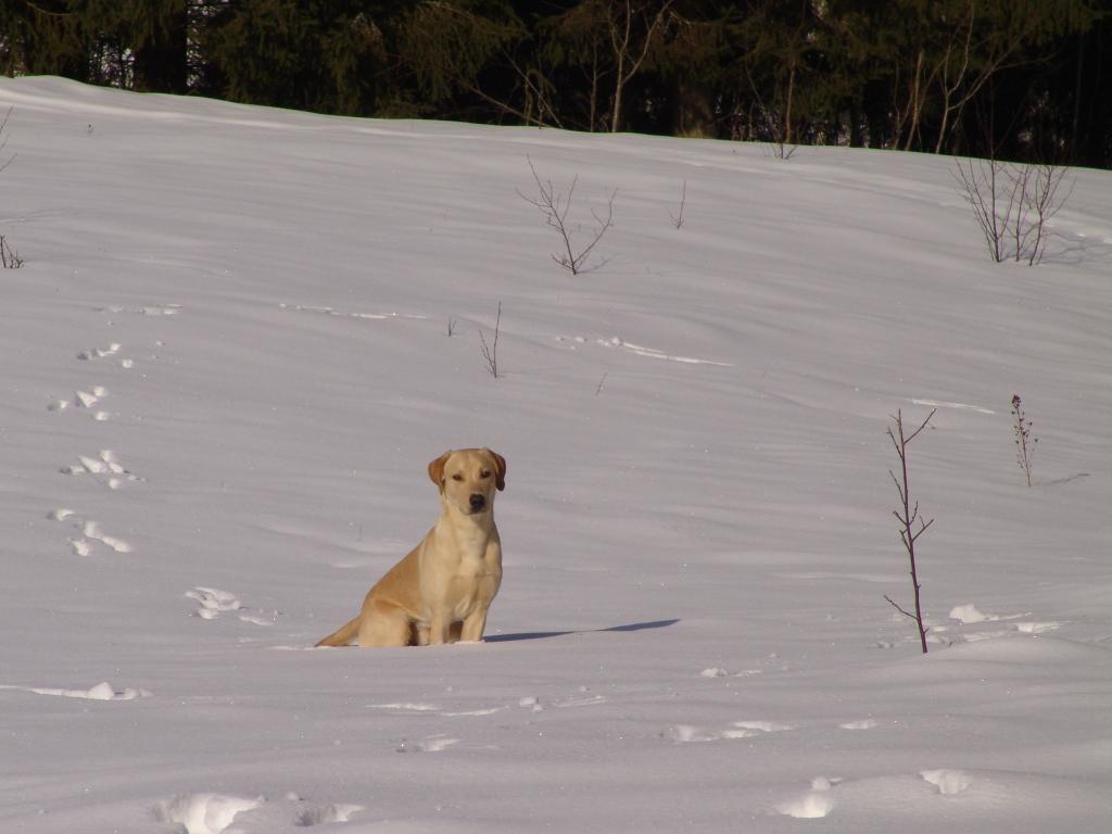 Ravensbank Boss (Boss) er landet i Finland,  og hans nye ejer Ari, har den første rigtige træningstime med ham i sneen. Her er Boss blevet stoppet på fløjten og han er klar til at følge anvisninger:©Ravensbank Labrador Retrievers