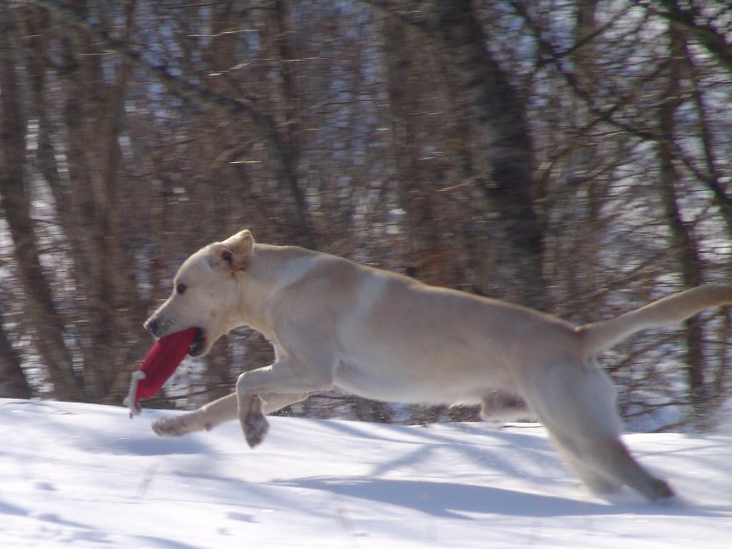 Training session in Finland on a fantastic day in March 2009. Here FI KVA, SE KVA Ravensbank Tip (Tipi) has retrieved a dummy in the snow. ©Ravensbank Labrador Retrievers