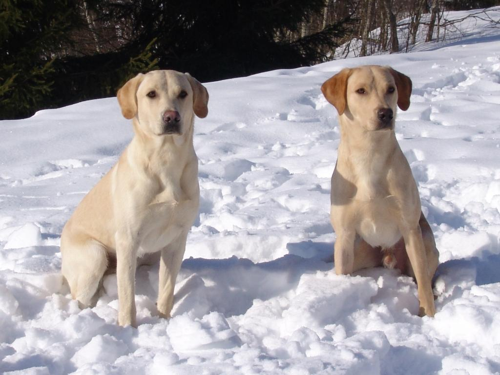 To the left you see FI KVA, SE KVA Ravensbank Tip (Tipi), and to the right Ravensbank Boss (Boss), two dogs from the same litter who now live in Finland. In the picture, they are ten months old. ©Ravensbank Labrador Retrievers