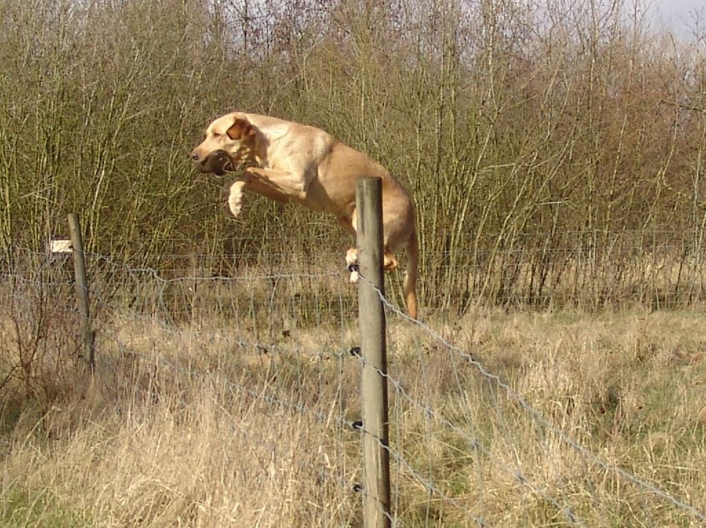 Når Ravensbank Wagtail (Waggie) skal hjem med dummien, kommer et sølle trådhegn ikke i vejen mellem hende og mig. Hun er meget atletisk i sine ubesværede bevægelser.©Ravensbank Labrador Retrievers