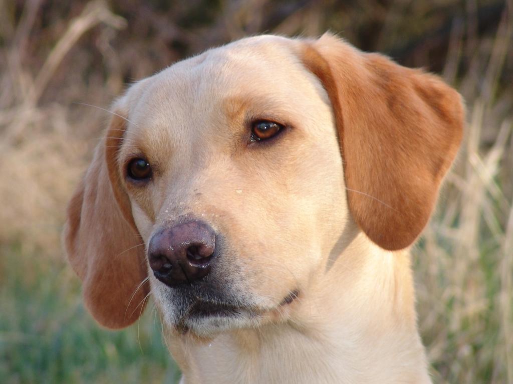 Ravensbank Wagtail (Waggie) er en dejlig rolig Formel 1 Labrador Retriever som er i god kontakt. Her er hun fotograferet i april 2009, en uge efter hun er blevet parret. ©Ravensbank Labrador Retrievers