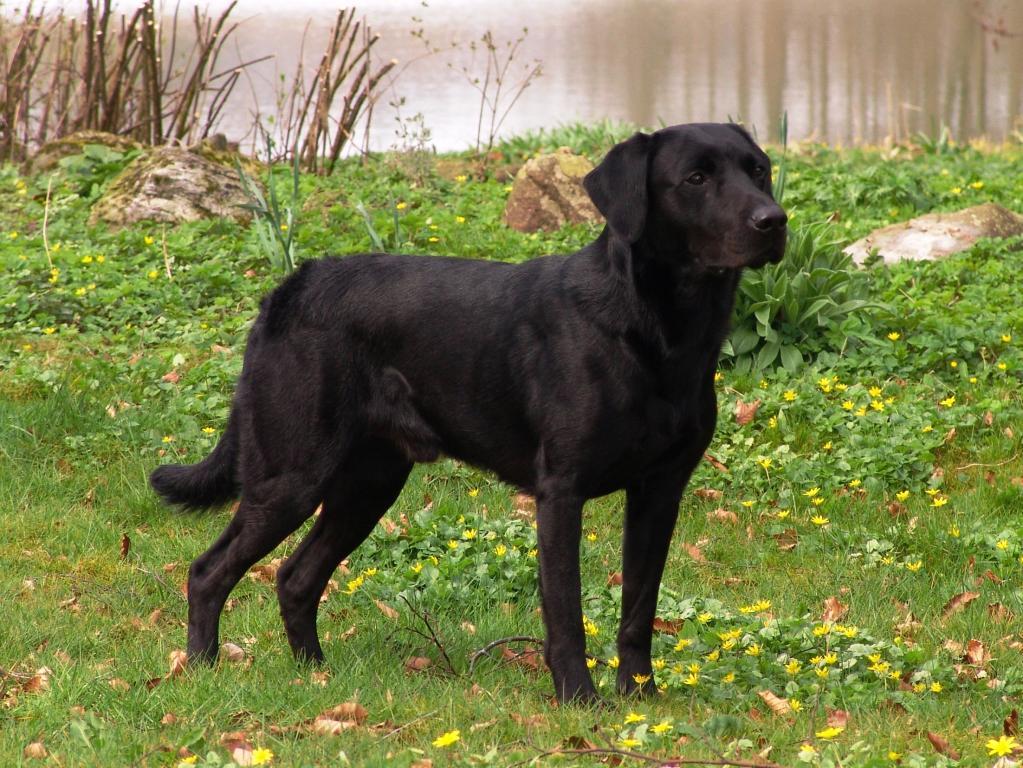 DKBRCH DKJCH NOJCH SEJCH NORDJCH 2EV2010 3UM2008 Ravensbank Swift (Swiffer) er den mest vindende Ravensbank hund til dato, og slægtskabet med hans far, DKBRCH DKJCH Cynhinfa Emperor (Leo) fornægter sig i hvert tilfælde ikke. Billedet er taget i april 2009 hvor Swiffer er godt 2½ år gammel.©Ravensbank Labrador Retrievers