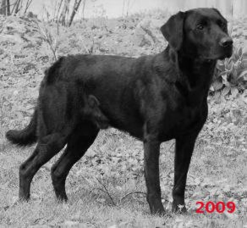 DKBRCH DKJCH NOJCH SEJCH NORDJCH 2EV2010 3UM2008 Ravensbank Swift (Swiffer) fotograferet i 2009©Ravensbank Labrador Retrievers