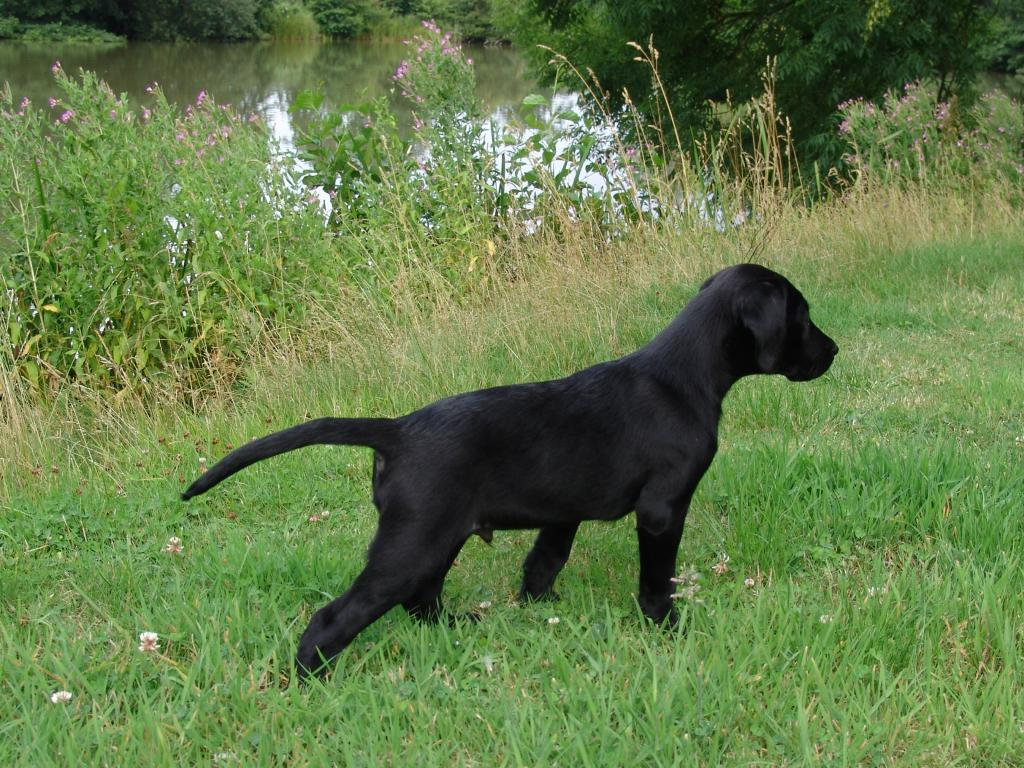 FRFTCH Ravensbank Sir Lancelot (Lance) at the age of 10 weeks ©Ravensbank Labrador Retrievers