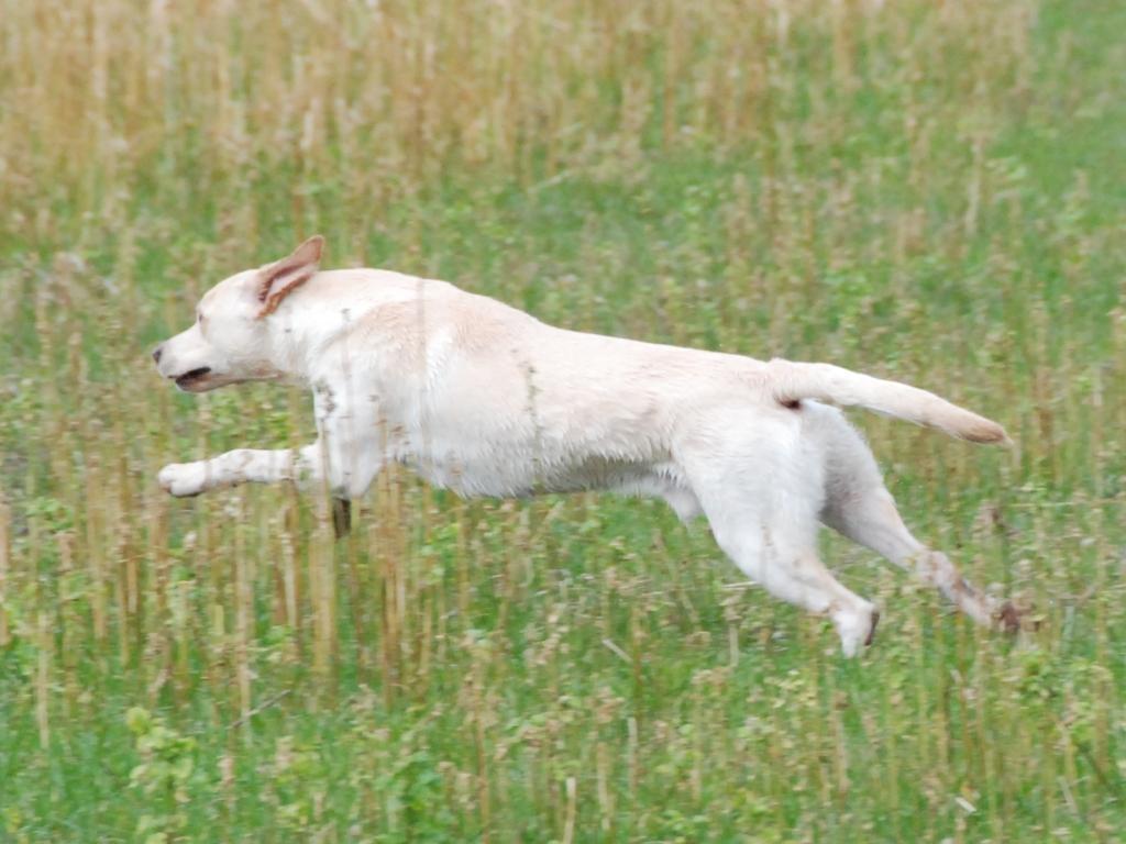 Ravensbank Robin (Robin) er en hund med masser af fart og stil. Her fra dirigeringen i åben klasse på C-prøven i Sydsjælland i marts 2008.©Frank Andersen