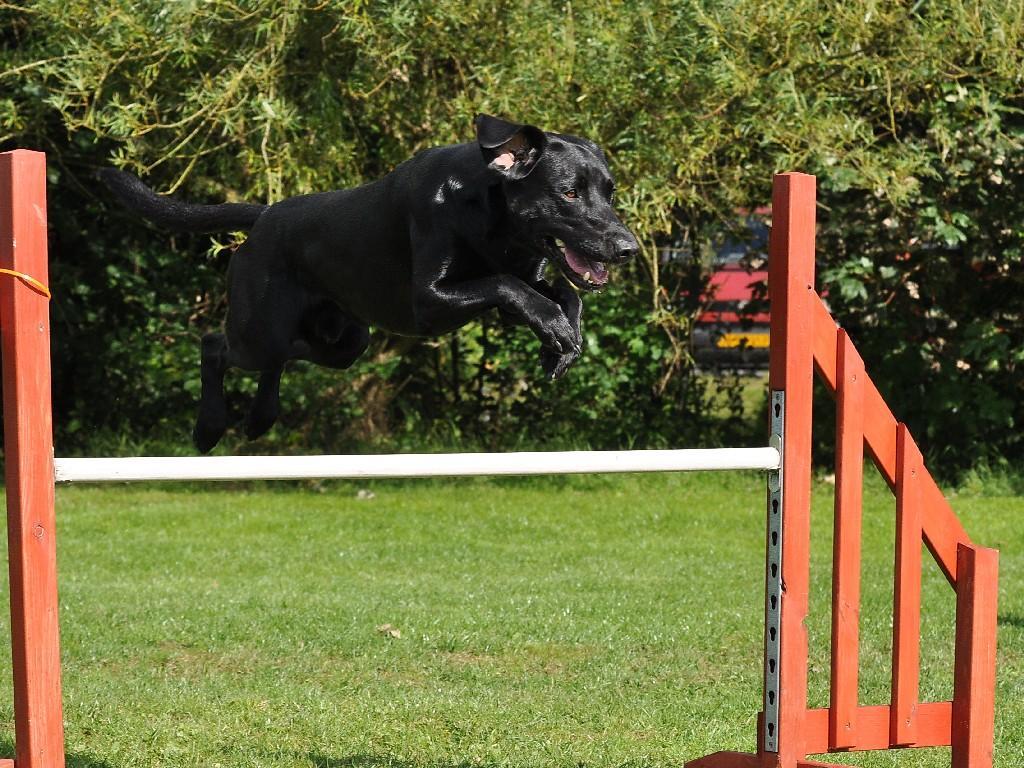 Ravensbank Max (Freddie) elsker lige som mange af sine søskende at springe over hegn. Her står hegnet bare på en agilitybane.©Helle Larsen