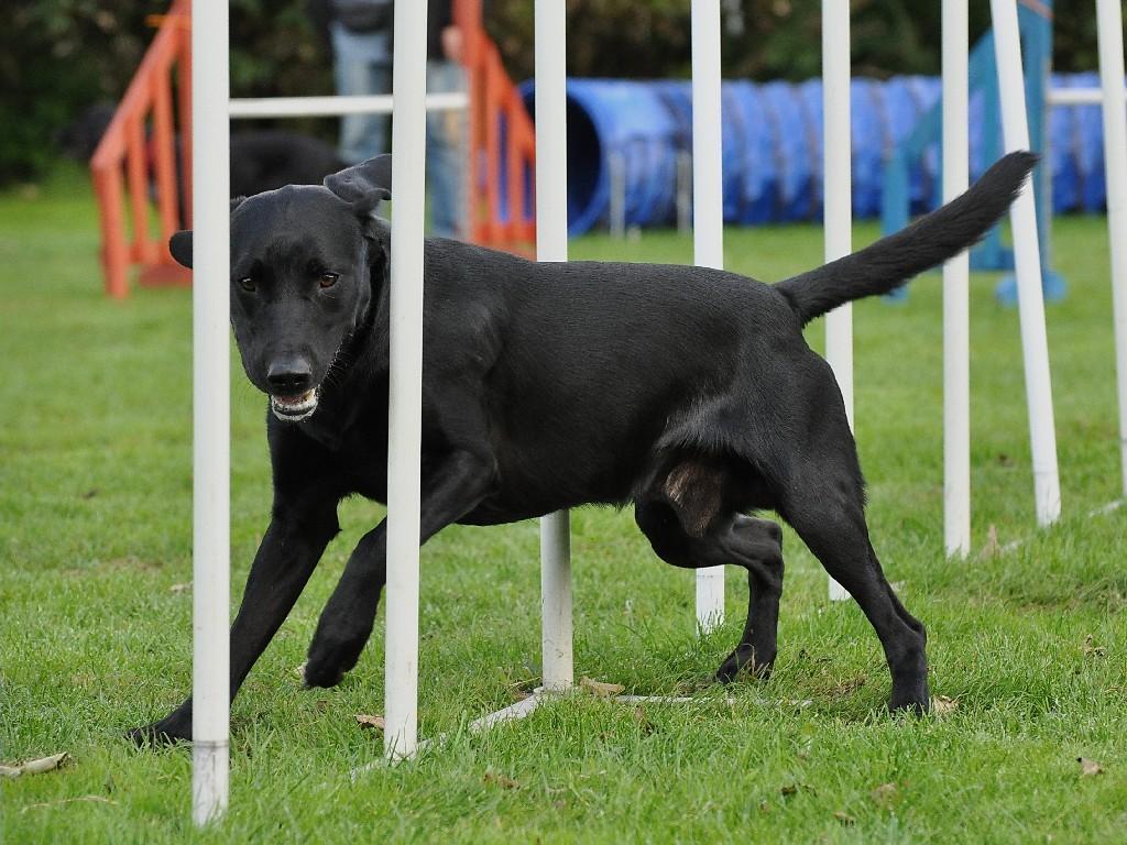 Man er overhovedet ikke i tvivl om, at Ravensbank Max (Freddie) synes at det er hyl at træne agility.©Helle Larsen