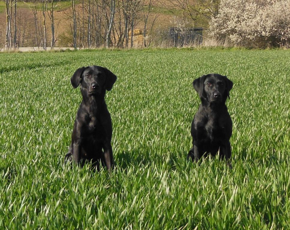 To the left it is Ravensbank Donna (Bibs) and to the right it is Ravensbank Mint (Minte) from the official cold game test at Møllerup Estate, where both dogs was awarded a 1st prize in novice class. ©Helle Voigt