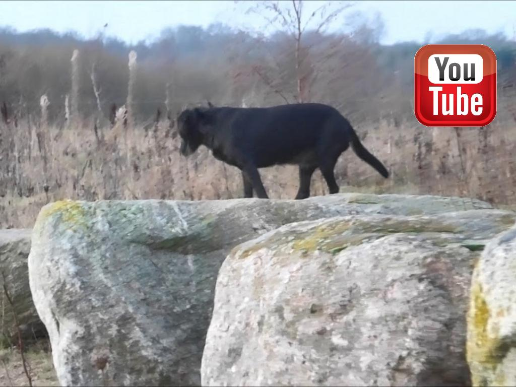 Ravensbank Flo (Flo) on her daily routine running on a path of huge rocks and logs intended for joggers. We call it on track. It is amazing that she finds this such fun at her age of 10 years and 7 months old.©Ravensbank Labrador Retrievers